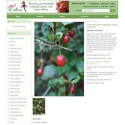 Goumi Berry, Gumi, Natsugumi, Cherry Silverberry ,Elaeagnus mutliflora ovata- AlmostEdenPlants.com
