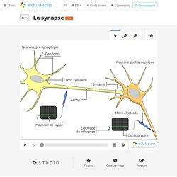 La synapse – simulation, animation interactive