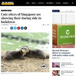 Singapore's adorable otters are showing their daring side