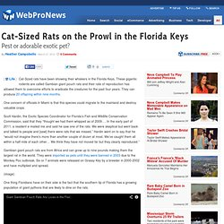 Cat-Sized Rats on the Prowl in the Florida Keys
