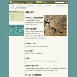 Small Mammals: Meerkat