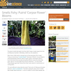 Smells Fishy: Putrid 'Corpse Flower' Blooms