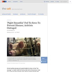 'Piglet Smoothie' Fed To Sows To Prevent Disease; Activists Outraged : The Salt