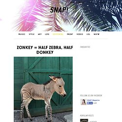 Ippo the Zonkey!