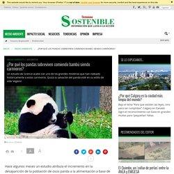 ¿Por qué los pandas sobreviven comiendo bambú siendo carnívoros? - Sostenibilidad Semana
