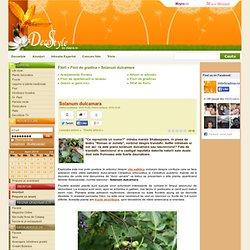 Solanum dulcamara - Flori de gradina