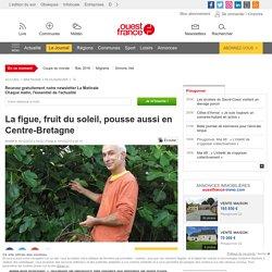 La figue, fruit du soleil, pousse aussi en Centre-Bretagne