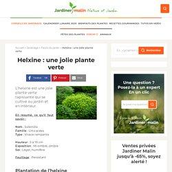 Helxine (soleirolia) : plantation et conseils d'entretien