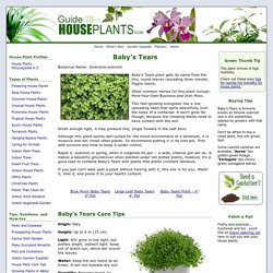 Baby's Tears Plant - Soleirolia soleirolii Picture, Care Tips