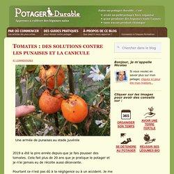 Tomates : des solutions contre les punaises et la canicule