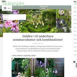 Dahlior i 12 underbara sommarrabatter och kombinationer – Allt om Trädgård