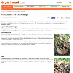Sortir les géraniums après l'hivernage