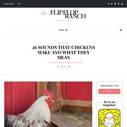 26 Sounds that Chickens Make and What they Mean - Flip Flop Ranch