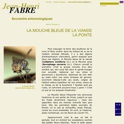 La Mouche bleue de la viande, La ponte, de Jean-Henri FABRE, Souvenirs entomologiques, 1907, Série X, Cha. 16