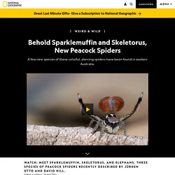 Behold Sparklemuffin and Skeletorus, New Peacock Spiders click 2x