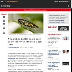 SCIENCE 23/09/20 A sparkling beetle could spell doom for North America's ash trees