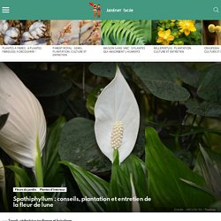 Spathiphyllum : conseils, plantation et entretien de la fleur de lune