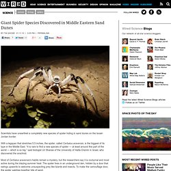 Giant Spider Species Discovered in Middle Eastern Sand Dunes | W
