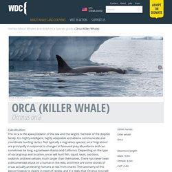 Killer Whale Species Guide - Whale and Dolphin Conservation