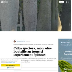 Ceiba speciosa, mon arbre bouteille au tronc si superbement épineux
