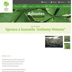 "Spiraea x bumalda ""Anthony Waterer"" - Spirée / Spirea - Nos végétaux - Jardin2m"