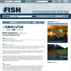 Betta splendens – Siamese Fighting Fish