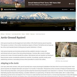Arctic National Park Service: Ground Squirrel