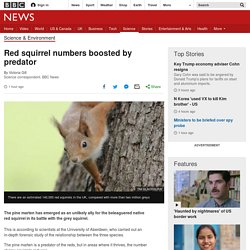 Red squirrel numbers boosted by predator - BBC News