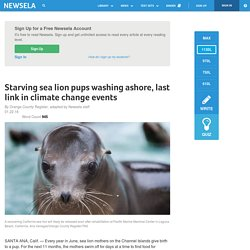 Starving sea lion pups washing ashore, last link in climate change events