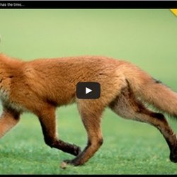 A Fox Steals A Man's Golf Ball