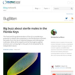 Big buzz about sterile males in the Florida Keys - BugBitten