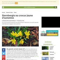 Sternbergia - crocus jaune d'automne
