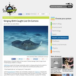 Stingray Birth Caught Live On Camera
