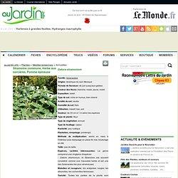 Stramoine commune, Herbe aux sorcières, Pomme épineuse, Datura stramonium