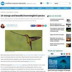 18 strange and beautiful hummingbird species