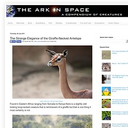 The Strange Elegance of the Giraffe-Necked Antelope