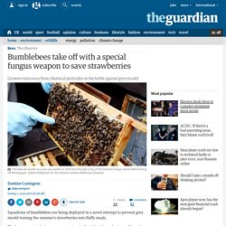 Bumblebees take off with a special fungus weapon to save strawberries