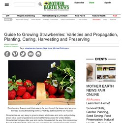 Guide to Growing Strawberries: Varieties and Propagation, Planting, Caring, Harvesting and Preserving