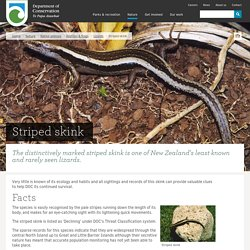 Striped skink: Lizards