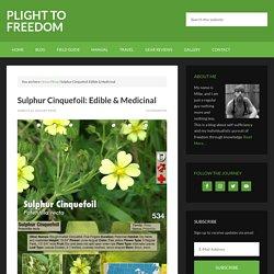 Sulphur Cinquefoil: Edible & Medicinal - Plight to Freedom
