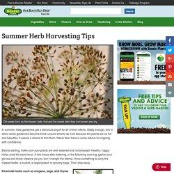 Summer Herb Harvesting Tips - Bonnie Plants