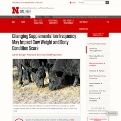 Changing Supplementation Frequency May Impact Cow Weight and Body Condition Score