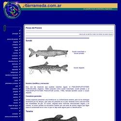 Surubí - Tararira