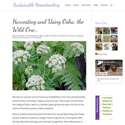 Harvesting and Using Osha, the Wild One… - Sustainable Homesteading