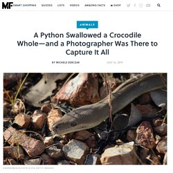 A Python Swallowed a Crocodile Whole—and a Photographer Was There to Capture It All