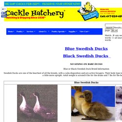 Black or Blue Swedish Ducks  Crested Ducks Duck Breed Information Duck videos Duck photos and images
