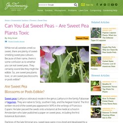 Sweet Pea Toxicity: Are Sweet Pea Blossoms Or Pods Edible