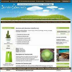 Aeonium plat (Aeonium tabuliforme) : arrosage, entretien