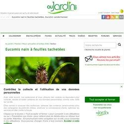 Eucomis nain à feuilles tachetées, Eucomis vandermerwei : cultiver