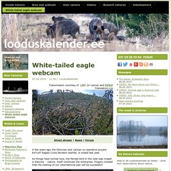 White-tailed eagle webcam